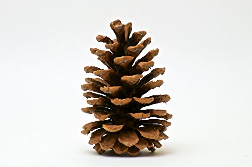 10 Large Premium Quality 4 to 5 Inch Colorado Ponderosa Pine Cones - Pine Rails