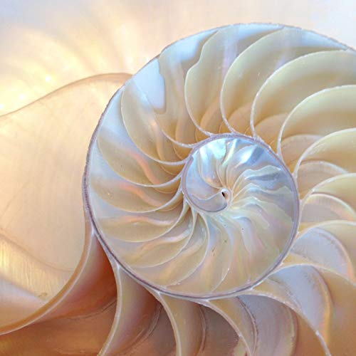 Nautilus Shell Closeup Photography A-93626 (24x36 Giclee Gallery Print, Wall Decor Travel Poster)