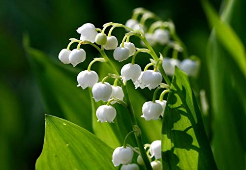 10 Lily of The Valley (Convallaria majalis) Bulbs - Fresh Bulbs Flower Spring Summer Beautiful Garden