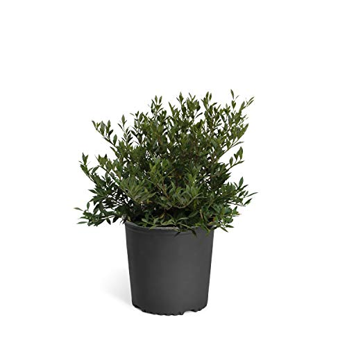 (Brighter Blooms Dwarf Radicans Gardenia Live Potted Plant - Fragrant Flowering Dwarf Shrub with Citrus Scent - 3 Gallon)