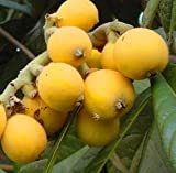 "6-10"""" Loquat Japanese Plum Starter Potted Plant, Nice Addition to Your Garden, Unique Fresh Fruit When Mature"