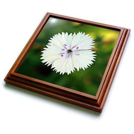 3dRose Stamp City - flowers - Macro photograph of a dainty white dianthus flower in bloom. - 8x8 Trivet with 6x6 ceramic tile - Trivet White Flower
