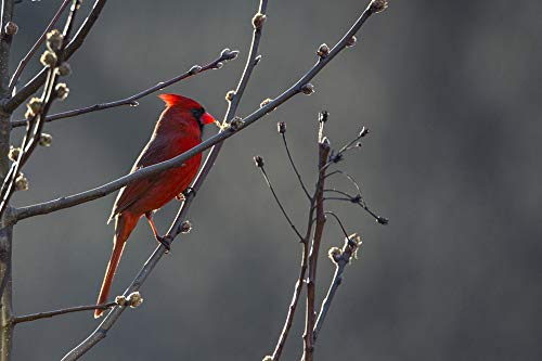 Home Comforts Framed Art for Your Wall Wild Cardinal Beak Nature Wildlife Bird Red Vivid Imagery 10 x 13 Frame