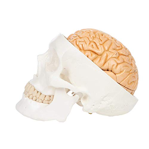 OIF Scientific 3-Part White Human Skull Model with Removable 8-Part Brain Plastic Includes Detailed Product Manual