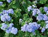 David's Garden Seeds Flower Ageratum Dondo Blue SL1112 (Blue) 500 Non-GMO, Open Pollinated Seeds