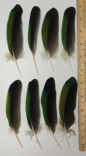 25 GREEN BLUE BLACK Amazon Parrot Wing Feathers 5 to 9 inches Choose Size, CURVE RIGHT (6 to 7 (Natural Parrot Green)