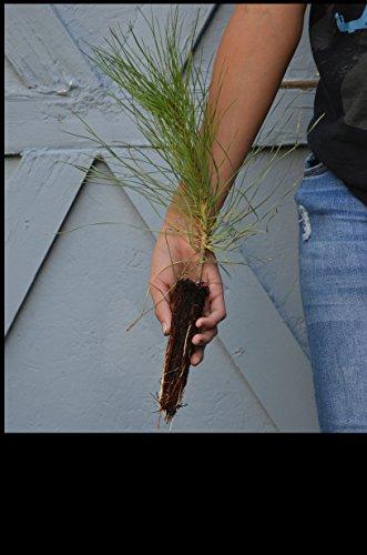 TreesAgain Ponderosa Pine Tree - Pinus ponderosa - 3 to 7+ inches (See State Restrictions)