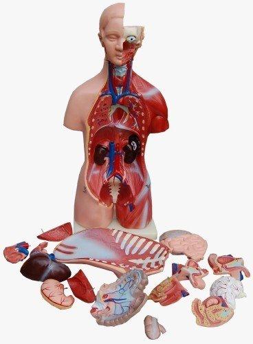 Torso, marido y mujer, 45 cm, 23 piezas, modelo anatomía: Amazon.es ...