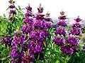 New Lemon Mint , ATTRACT HUMMINGBIRDS , Purple Flowers , 265 + Seeds !