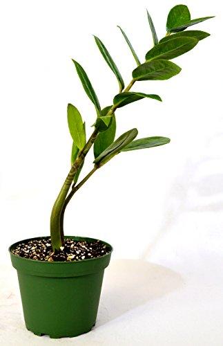 9GreenBox - ZZ Plant - Zamioculcas Zamiifolia - 4'' Pot