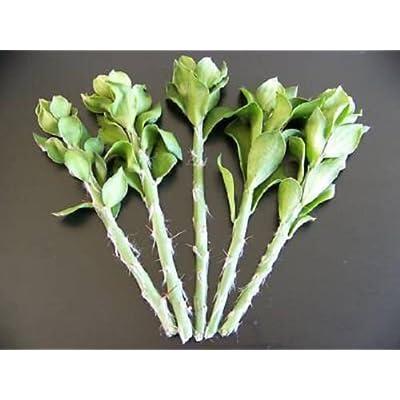 "Pereskiopsis grafting stock pereskia cactus rare graft leaf cacti 20 cuttings 4"" : Garden & Outdoor"