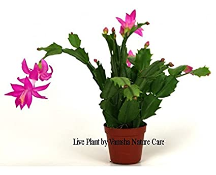 How To Care For Christmas Cactus.Vamsha Nature Care Zygocactus Christmas Cactus Plants