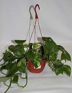 Potos de colgar (Maceta 15 cm Ø) - Planta viva de interior