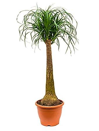 Elefantenfuss robuste Zimmerpflanze für Halbschatten Beaucarnea recurvata 1  Pflanze 80-100 cm im 26 cm Topf von Redwood