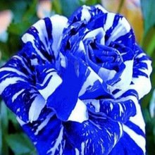 blue-dragon-rose-bush-20-seedsrare