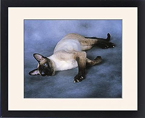 Framed Print of Cat - Siamese Seal Point - Lying down - Seal Point Siamese Cats