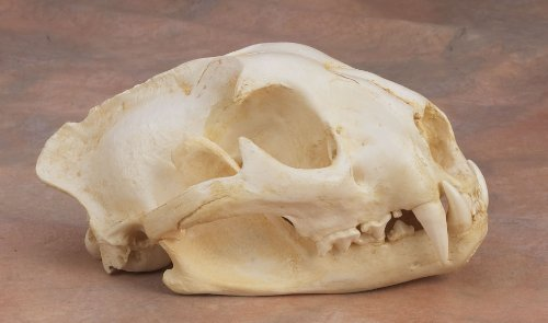 Mountain Lion Skull Replica