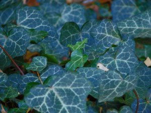 Baltic Ivy | Evergreen Ground Cover Plants | 1 order contains 25 bare root plants