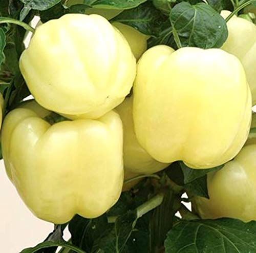 White Bell Pepper Seeds for Growing a Mild Rare Unique Heirloom bin310 (40 Seeds)