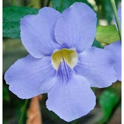 Thunbergia grandiflora Blue | Sky Bengal Clock Vine | 5_Seeds : Garden & Outdoor