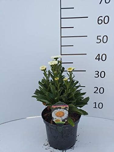 Spath Staude Grossblumige Garten Margerite Real Neat Weiss Gelb Bluhend Stauden Winterhart Mehrjahrig Im 3 Liter Topf Amazon De Garten