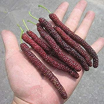 Fash Lady 200 Pcs/Bag Long Mulberry Seed, Rare Mulberry Tree, Exotic Plant Pakistan Fruit Seeds, Large Super Sweet Non-GMO Food for Garden New Arrival ()