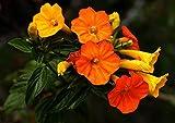 Rare 4 graines de streptosolen jamesonii h353 marmelade Bush Seeds semillas