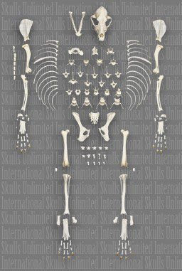 Domestic Dog Disarticulated Medium Skeleton (Natural Bone Quality A) by Skulls Unlimited International