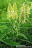 The Dirty Gardener Astragalus Membranaceus Huang Qi Milk Vetch Seeds - 1,000 Seeds