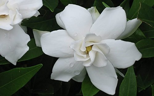 Frost Proof Gardenia ( Cape Jasmine ) - Live Plant - Quart Pot by Amazing Plants (Image #3)