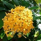 plantsguru Ixora Dwarf (Yellow)