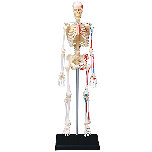 4D VISIONS MODELS Visible Human Skeleton Anatomy Kit, One - Skeleton Model Anatomy