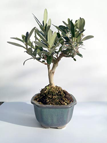 Miniature Bonsai - Olive Tree - 5 Year Old Plant by Miniature Bonsai (Image #7)