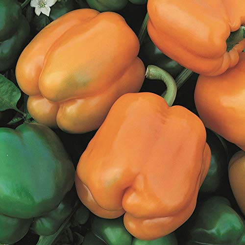 (Golden California Wonder Sweet Bell Pepper Seeds, 100+ Premium Heirloom Seeds,(Isla's Garden Seeds), Non Gmo Organic, 85-90% Germination Rates, Seeds)