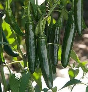 Pepper Hot Rod 1,000 seeds