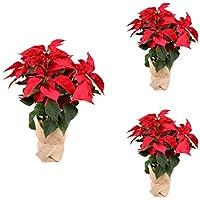 Planta Navidad - PACK 3 Plantas de Navidad - Flor de pascua - Poinsettia - Altura 55 cm - Planta natural - Envío gratis