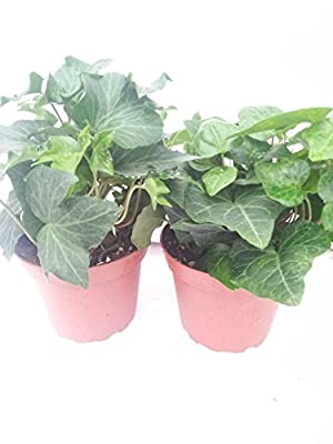 """*Two Baltic English Ivy Plant Hardy Groundcover 4"""" Pot/ From Jmbamboo by Jm Bamboo"""