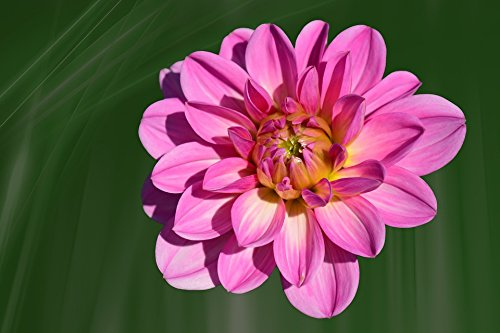 Home Comforts Canvas Print Blossom Bloom Dahlia Pink Late Summer Flower Stretched Canvas 10 x 14