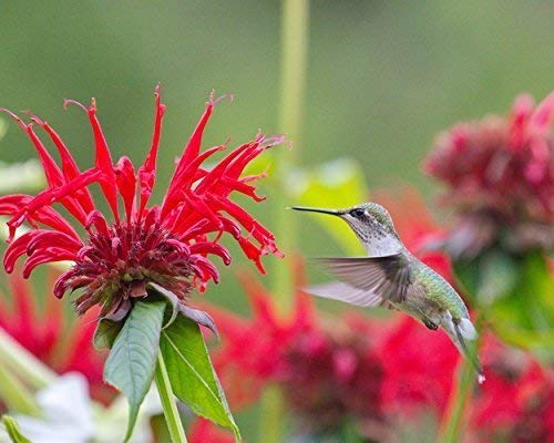 - Photograph of a Ruby-throated Hummingbird Hovering In Mid-air -