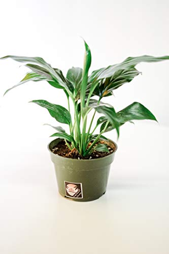 (Pacific Tropicals &Succulents - Peace Lily Plant Spathyphyllium-Live Indoor Plant -Height -Ships in 4 inch Grow Pot-Homegrown)