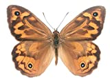 Australian Common Brown Butterfly Decal - 6' wingspan