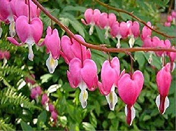 10 Bleeding heart Seeds – DICENTRA spectabilis – Great Flowers for Shaded Area !