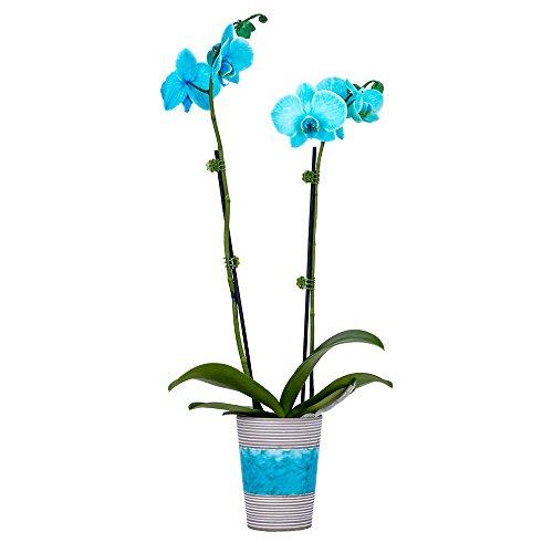 DecoBlooms Live Aqua Orchid, 3 inch Blooms