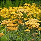 Package of 500 Seeds, Gold Yarrow Seeds (Achillea filipendulina)