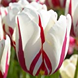 Single Late Tulip Bulbs World Expression