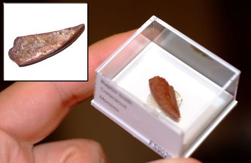 FS9029:Raptor Dinosaur tooth 10-20mm