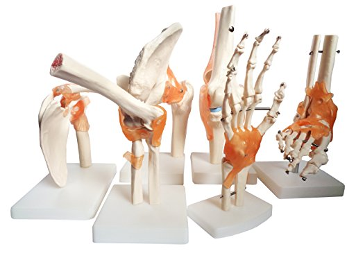 old-nobby-complete-life-size-anatomical-model-set-of-foot-and-ankle-elbow-joint-hip-joint-shoulder-j