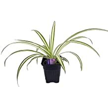 """Ocean Spider Plant - Easy to Grow - Cleans the Air - NEW - 3"""" Pot"""
