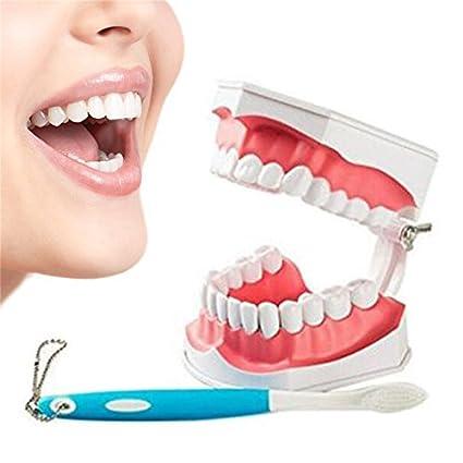 HNBGY Único Modelo de Dientes Modelo de enseñanza de educación Dental para Adultos con Dientes Inferiores