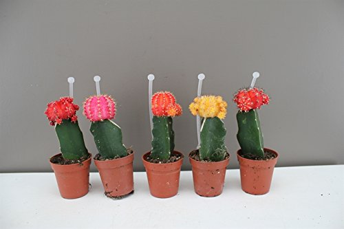 Rainbow Chin Cactus - Very Popular Cactus variety - Grow your own Rainbow - Ideal starter Cactus Set - Make excellent gifts for Birthdays - Quirky looks make them popular with Children, Teenagers and Collectors alike - Available as 1 or 5 - Comes with rem